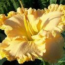 dienliliju-darzs